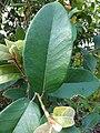 Ficus drupacea, Mysore Fig, Brown woolly fig, ചെലാ Chela 2.jpg