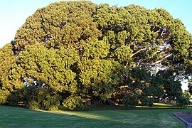 Ficus obliqua at Princes Highway Milton New South Wales