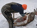 Field dressing a deer 23.jpg