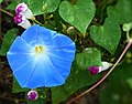 Figure 7 Morning glory (Ipomoea tricolor) whit different stages of flower development, buds have pink colour when matured flower are blue.jpg