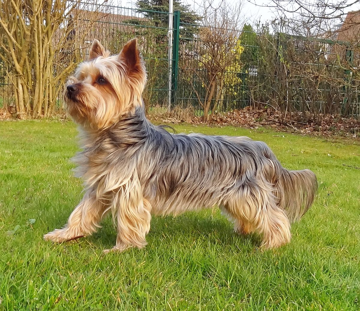 yorkie terrier picture yorkshire terrier wikipedia 8534