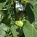 Finch eating a fig (9661579066).jpg