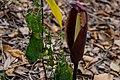 Fleur dans la forêt relique de Niaouli au Bénin.jpg