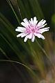 Fleur non identifiée1.jpg