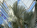 Flickr - brewbooks - Bismarckia nobilis in Palm House (2).jpg