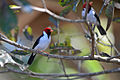 Flickr - ggallice - Yellow-billed cardinal.jpg