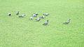 Flock of pigeons sansad bhavan.jpg