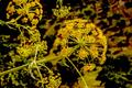 Flor de hinojo.png