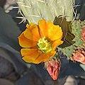 Flor de nopal (Opuntia sp.).jpg