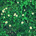 Flora Kuksiane ,luledele.jpg