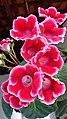 Florada da Gloxínia.jpg
