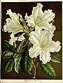 Flore des serres v15 041a.jpg