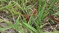 Florida Eastern Lubber Grasshopper on Grass (3).jpg