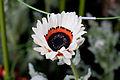 "Flower, Namaqua-land Daisy ""White"" - Flickr - nekonomania (1).jpg"