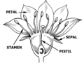 Flower Anatomy (PSF).png