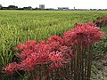 Flowers of Lycoris radiata and paddy fields near Kanzaki Station.jpg