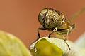 Fly (Eristalinus megacephalus).jpg