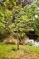 Fokienia hodginsii, Christchurch Botanic Gardens.jpg