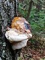 Fomitopsis pinicola 99172143.jpg