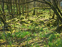 Forest, with moss and daffodils