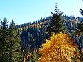Forest Hillside in Autumn, Wallowa-Whitman National Forest (26195908434).jpg