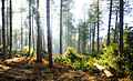 Forest Light (6923886307).jpg