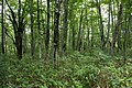 Forest in Mt.Bandai 05.jpg
