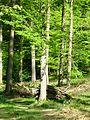 Forest near Hetschwang.JPG