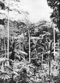 Forest with oil palms, near Ganda, Belgian Congo.jpg