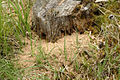 Formica.sanguinea5.-.lindsey.jpg
