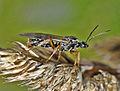 Formicidae - Formica rufa (winged male).JPG
