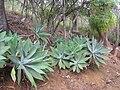Foxtail Agave in Koko Crater Botanical Garden - IMG 2181.jpg