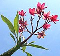 Frangipani-flowers-leaves-branches-sky.jpg