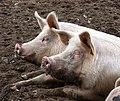 Free-range pigs north of Dairy Farm in Rushford - geograph.org.uk - 1732631.jpg