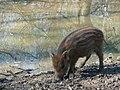 Frischling Wildschwein.JPG
