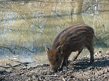 Piglet wild boar.JPG