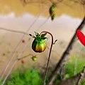 Fruit of Dahlia coccinea (Asteraceae).jpg