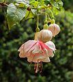 Fuchsia 'Devonshire Dumpling' 02.jpg