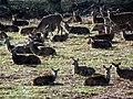 GOC Richmond 076 Red deer (Cervus elaphus) (14456208847).jpg