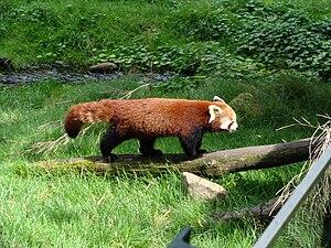Görlitz Zoo - Image: G Rpanda