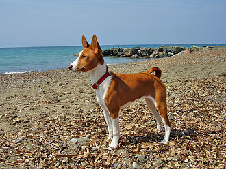 Basenji - Red Basenji with white markings