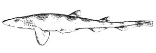 Antilles catshark Species of shark