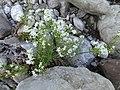 Galium anisophyllum Vill. (7477254856).jpg
