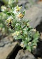 Galium serpenticum with ant.jpg