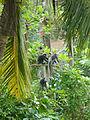 Galle-Singes noirs.jpg
