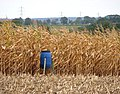 Game bird feeder on the edge of a field of maize - geograph.org.uk - 1534808.jpg