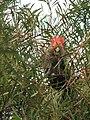 Gang-gang Cockatoo (Callocephalon fimbriatum)-5.jpg