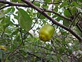 Gardenology.org-IMG 2695 ucla09.jpg