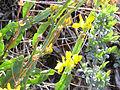 Genista tridentata Tallo 2012-4-22 SierraMadrona.jpg