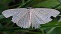 Geometer Moth (Geometridae) - Guelph, Ontario.jpg